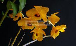 Dendrobium-denneanum-