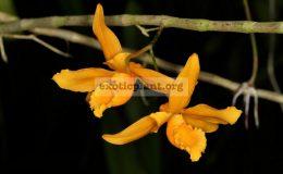 Dendrobium-henryi
