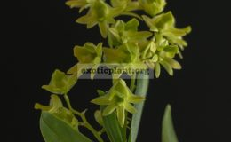 Dendrobium-kanburiense
