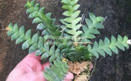 Dendrobium-leonis