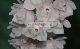 Dendrobium-linguella-