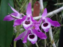 Dendrobium-lituiflorum