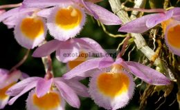 Dendrobium-loddigesii