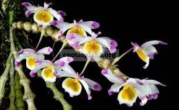 Dendrobium-pendulum