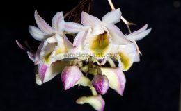 Dendrobium-pseudolamellatum