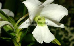 Dendrobium-sanderae
