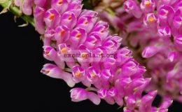Dendrobium-secundum