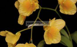 Dendrobium-sukhakulii