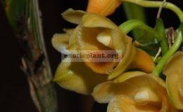 Dendrobium-ypsilon1