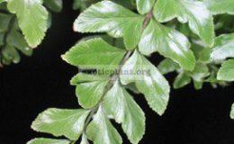Didymochlaena-truncatula-30-