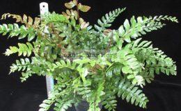 Didymochlaena-truncatula-30