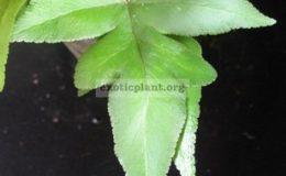 Doryopteris-ludensMalaysiasterile-leaf-