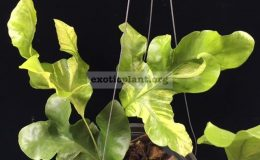 Drynaria-sp.T06-white-variegated-50
