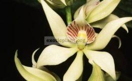 Encyclia-fragrans