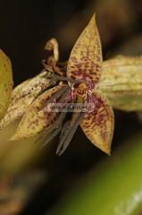 Epicranthes-haniffii