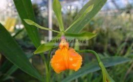 Epidendrum-pseudoepidendrum
