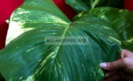 Epipremnum-aureum-GIANT-GOLDEN-POTHOS1-100-