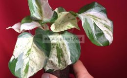 Epipremnum-marble-big-leaves-clones-28-900-