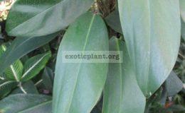 Epipremnum-pinnatum-Prachuap-kirikhan-southern-Thailand-24