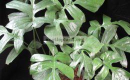 Epipremnum-sp.T04-Giant-leaf-35