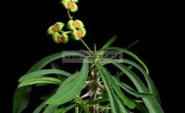 Euphorbia-brachyphylla
