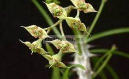 Euphorbia-genoudiana