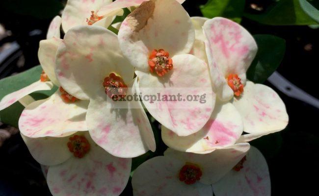 Euphorbia-millii-Beauty-Queen