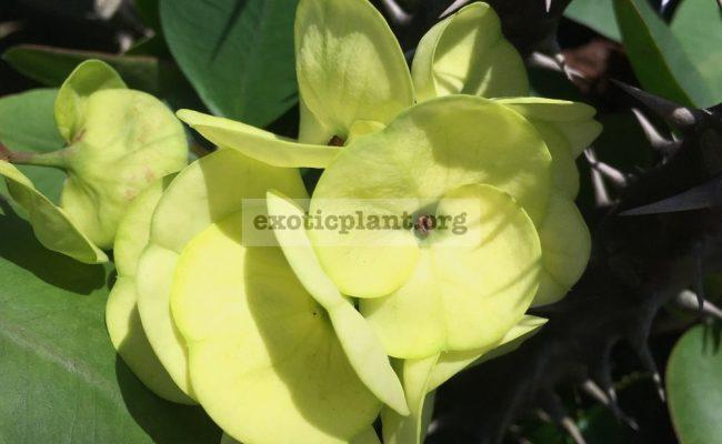 Euphorbia-millii-grandiflora-King-of-Yellow-Dream-