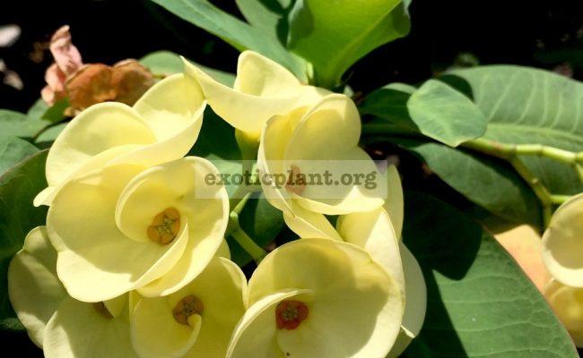 Euphorbia-millii-grandiflora-King-of-Yellow-Dream-1-1
