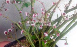 Euphorbia-xanti-syn-Euphorbia-gymnoclada-