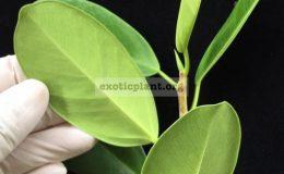 Ficus-formosa-oval-leaf-20