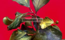 Ficus-triangularis-'Yellow-medivariegated'-2-40-