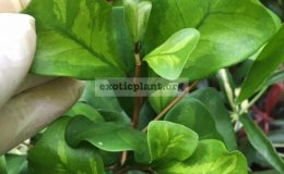 Ficus-triangularis-yellow-variegated