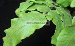 Goniophlebium-verrucosum-dense-hair-leaf