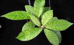 H-callistophylla35-1400