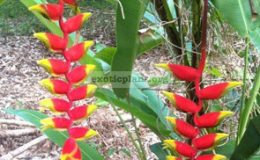 Heliconia-rostrata-20