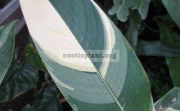Heliconia-sp-white-variegata-35