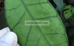 Hoya-callistophylla-No.2-long-leaf606-40