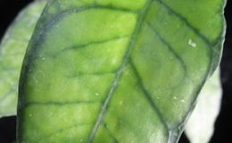 Hoya-callistphylla-No-4645-1500