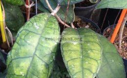 Hoya-finlaysonii-Perak-890-40
