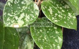 Hoya-sp.851-Heart-leafSilver-Splash851-33