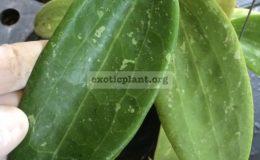 Hoya-wibergiae-big-leaf841-40