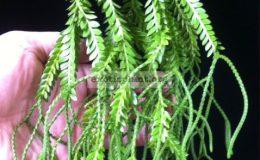 Huperzia-phlegmaria-from-Fiji-30-
