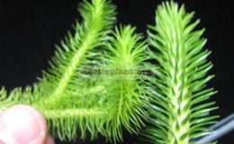 Huperzia-squarrosa-Thailand-слева-и-Huperzia-verticillata-Philippines-справа