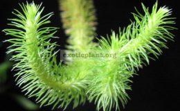 Huperzia-verticillata-Philippines-