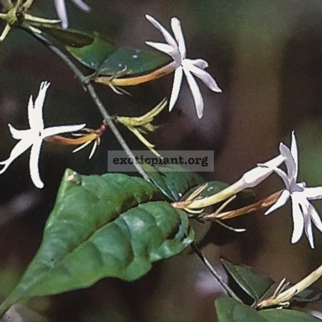 Jasminum nervosum 35