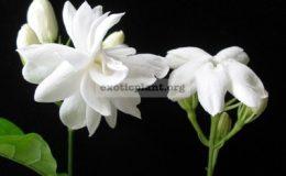 Jasminum-sambac-Mysore-Mulliiсверху-Arabianснизу