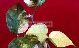 Jasminum-sambac-variegated-70-