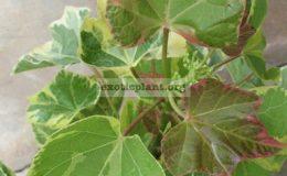 Jatropha-curcas-Brocade