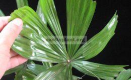 Licuala-paludosa-southern-Thailand-Palm